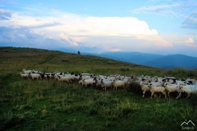 Ovce pod Krížnou